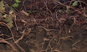 Soil profile with visible roots