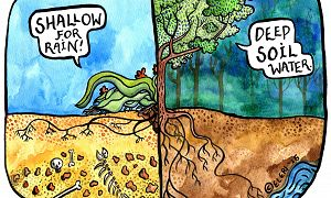 Two illustrated cross-section views of a landscape. One with a plant's root system in shallow soil saying, 'Shallow for rain!' The other with a tree's root system reaching deeper soil saying, 'Deep soil water.'